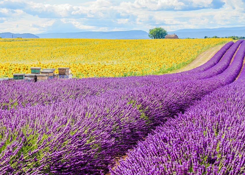 Colorful French fields in Provence.  A field of yellow sunflowers runs parallel to a field of purple lavender