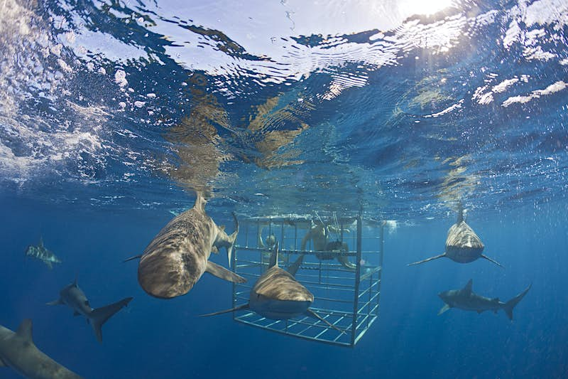 Galapagos Sharks circle swimmers inside a protective cage