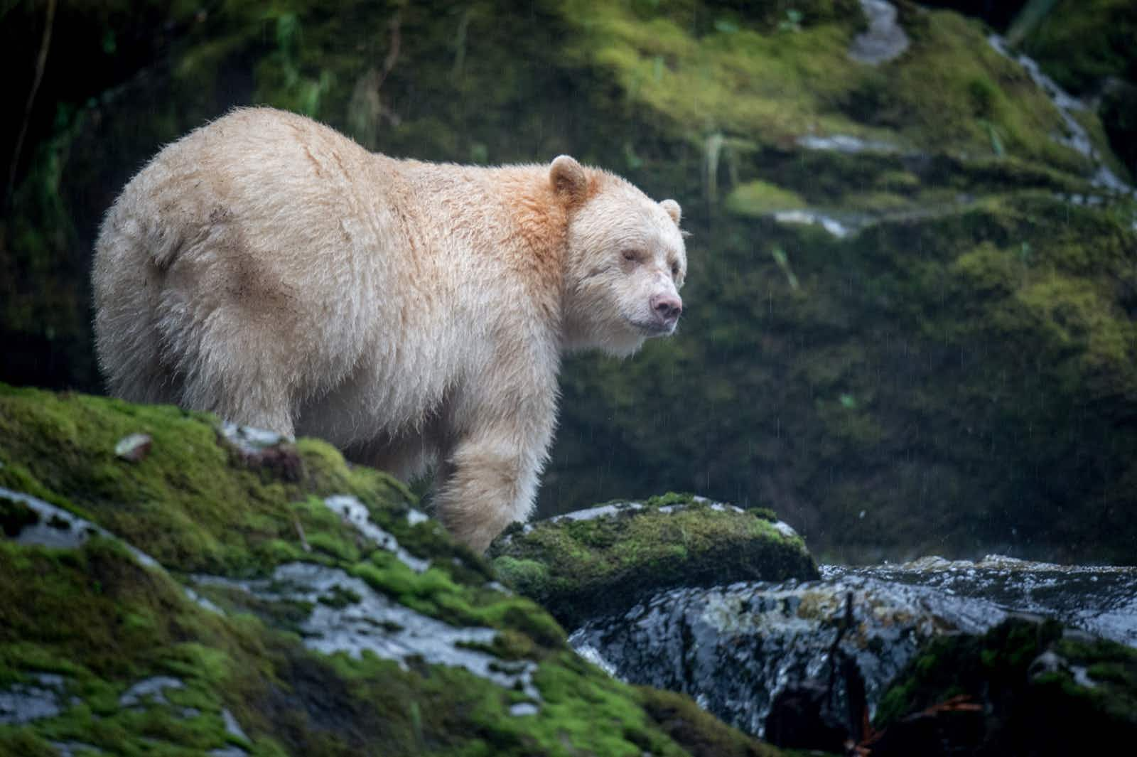 A bear with white fur stands on a moss-covered rock in a stream next to a waterfall in Canada's Great Bear Rain Forest