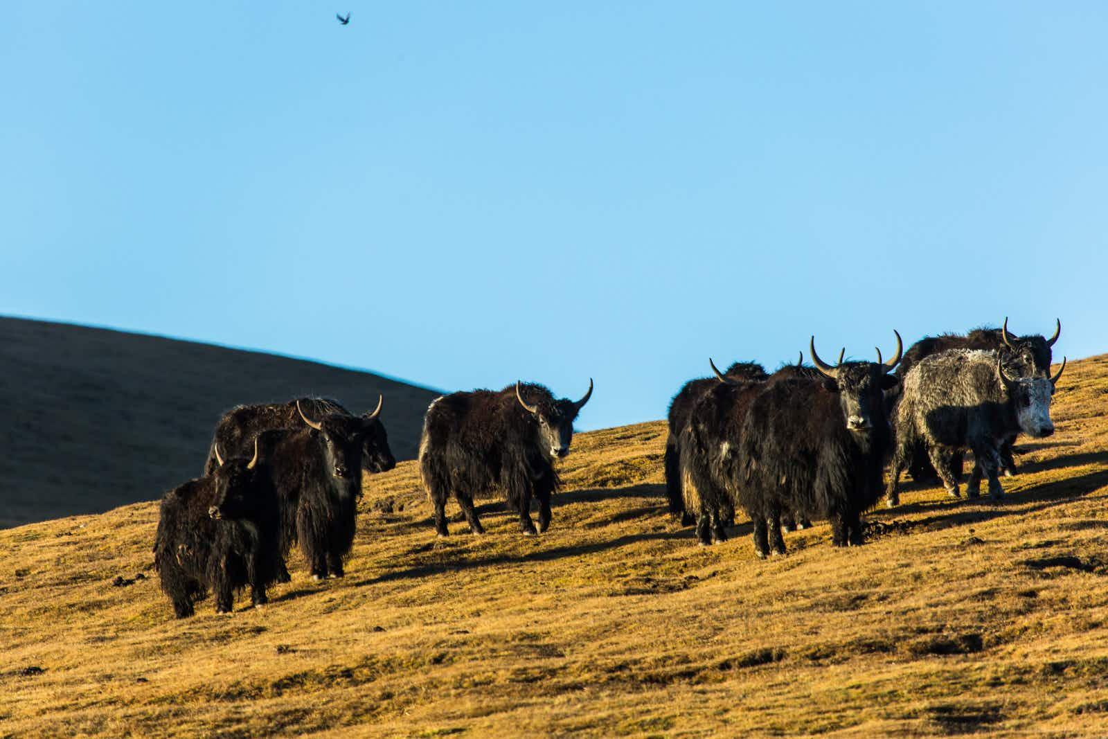 Sleeping under yak hair: life with Gansu's Tibetan nomads