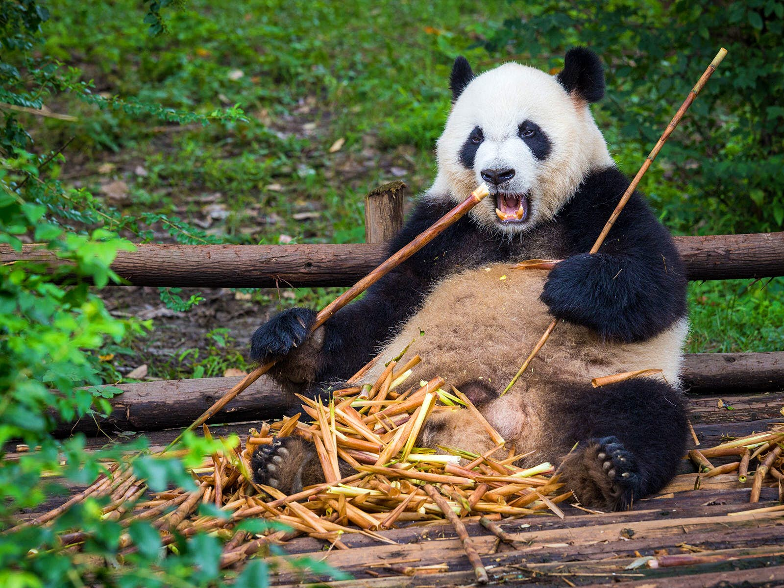 A giant panda chomps on bamboo at the panda breeding base in Chengdu © kiszon pascal / Getty