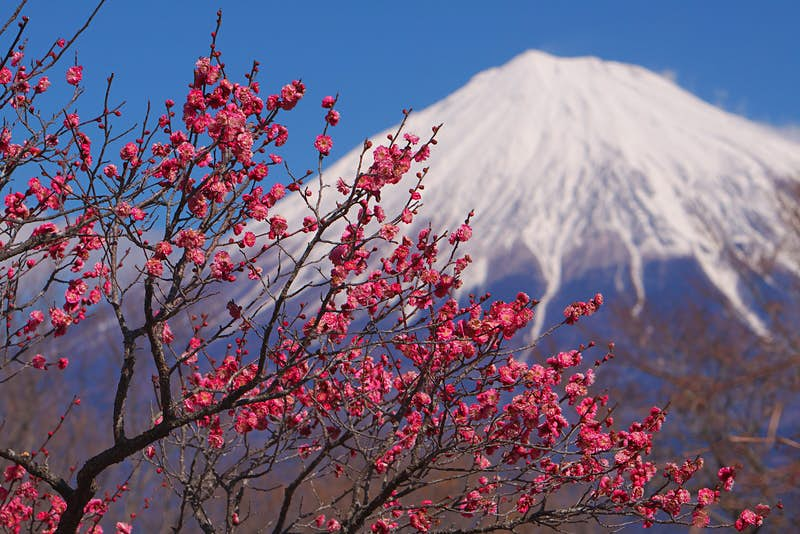 Branches covered with dark pink plum blossoms with snow-capped Mt Fuji in the distance
