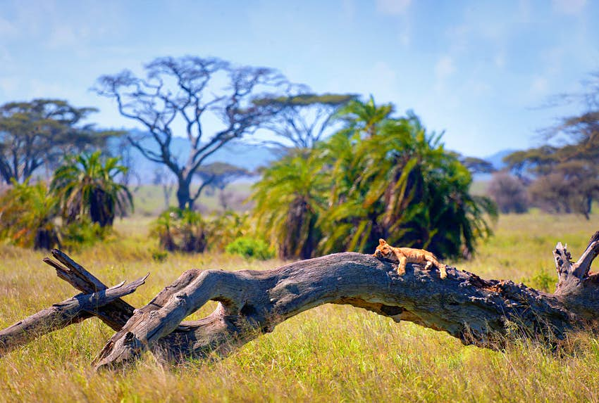 A lion cub snoozes on a fallen tree trunk in the Serengeti National Park