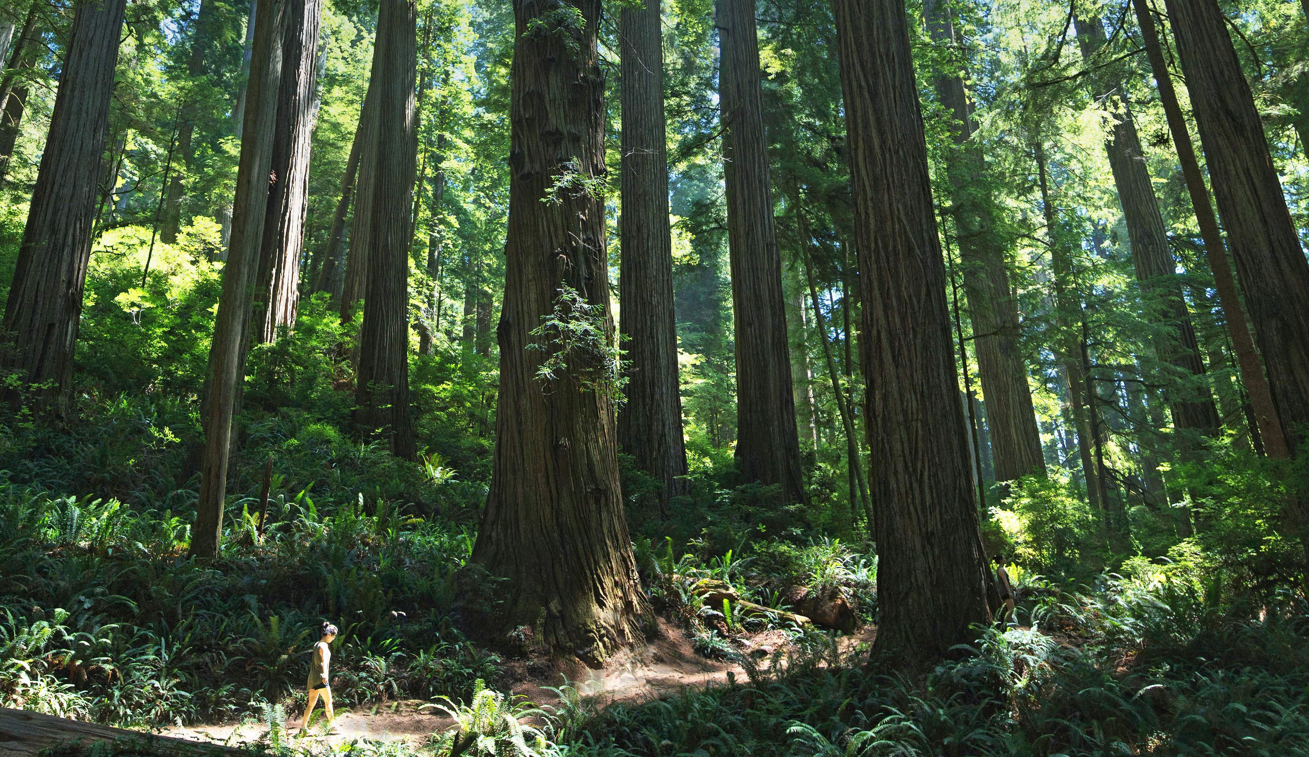 Seeking serenity: forest bathing among California's redwoods