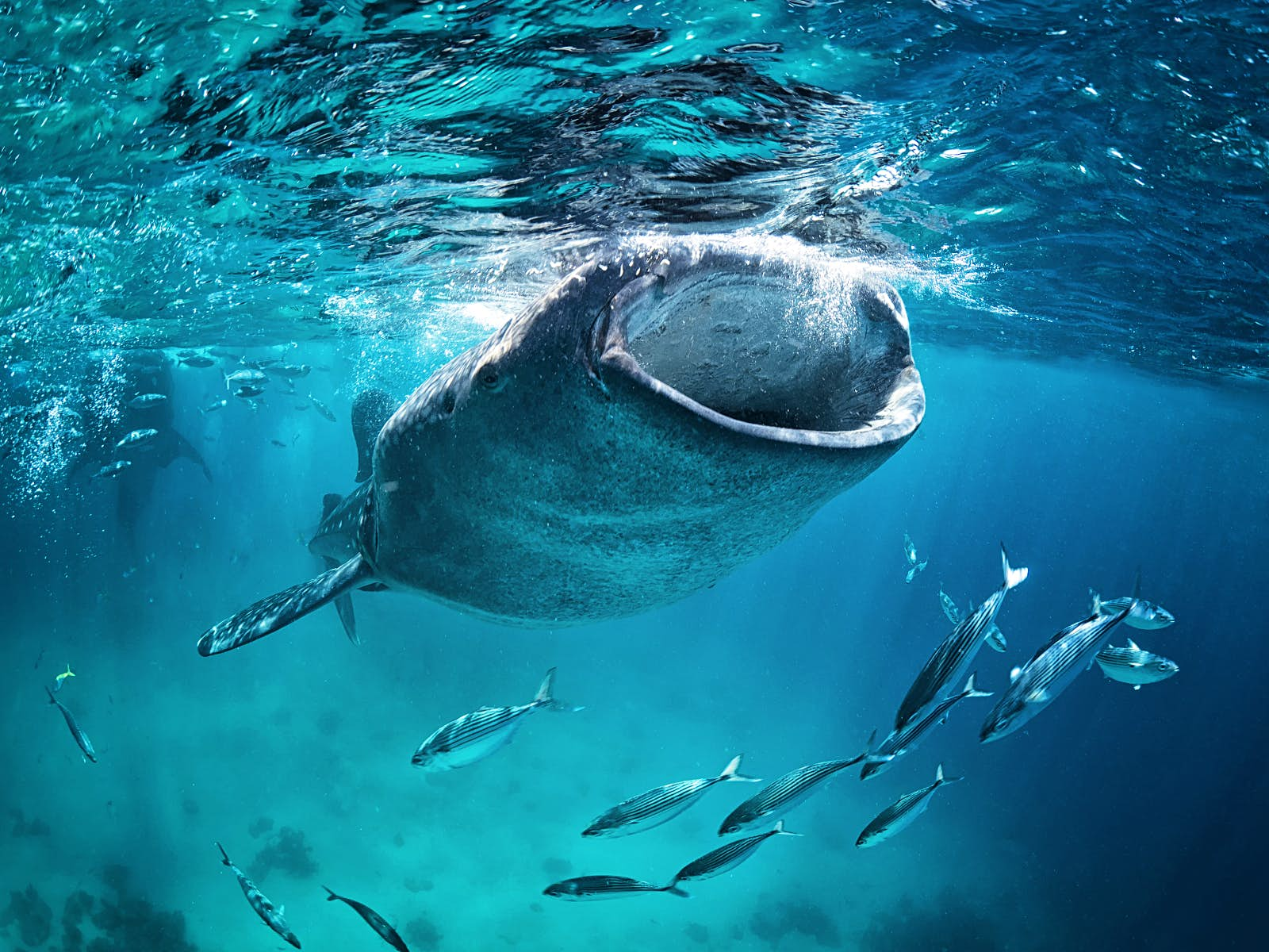 Underwater shot of a whale shark feeding near the surface of the water with its huge mouth wide open; a shoal of fish surrounds it.