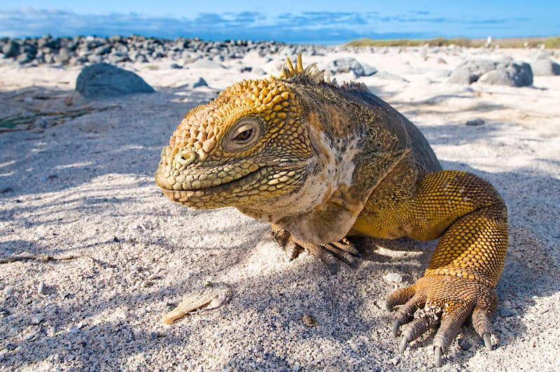 A close-up of an iguana on a beach in the Galapagos Islands ©Alexander Safonov / Getty Images