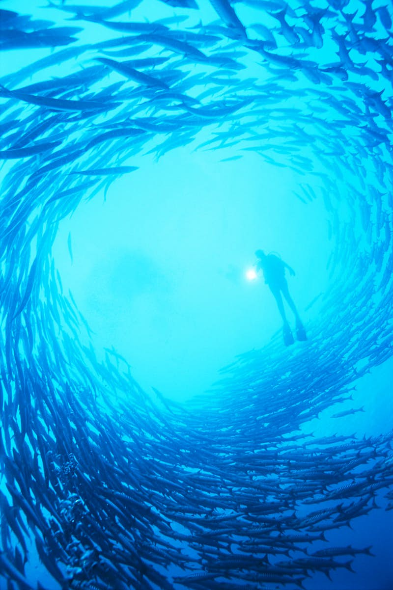 A diver in the centre of a shoal of barracuda, the Solomon Islands ©Peter Pinnock / Getty Images