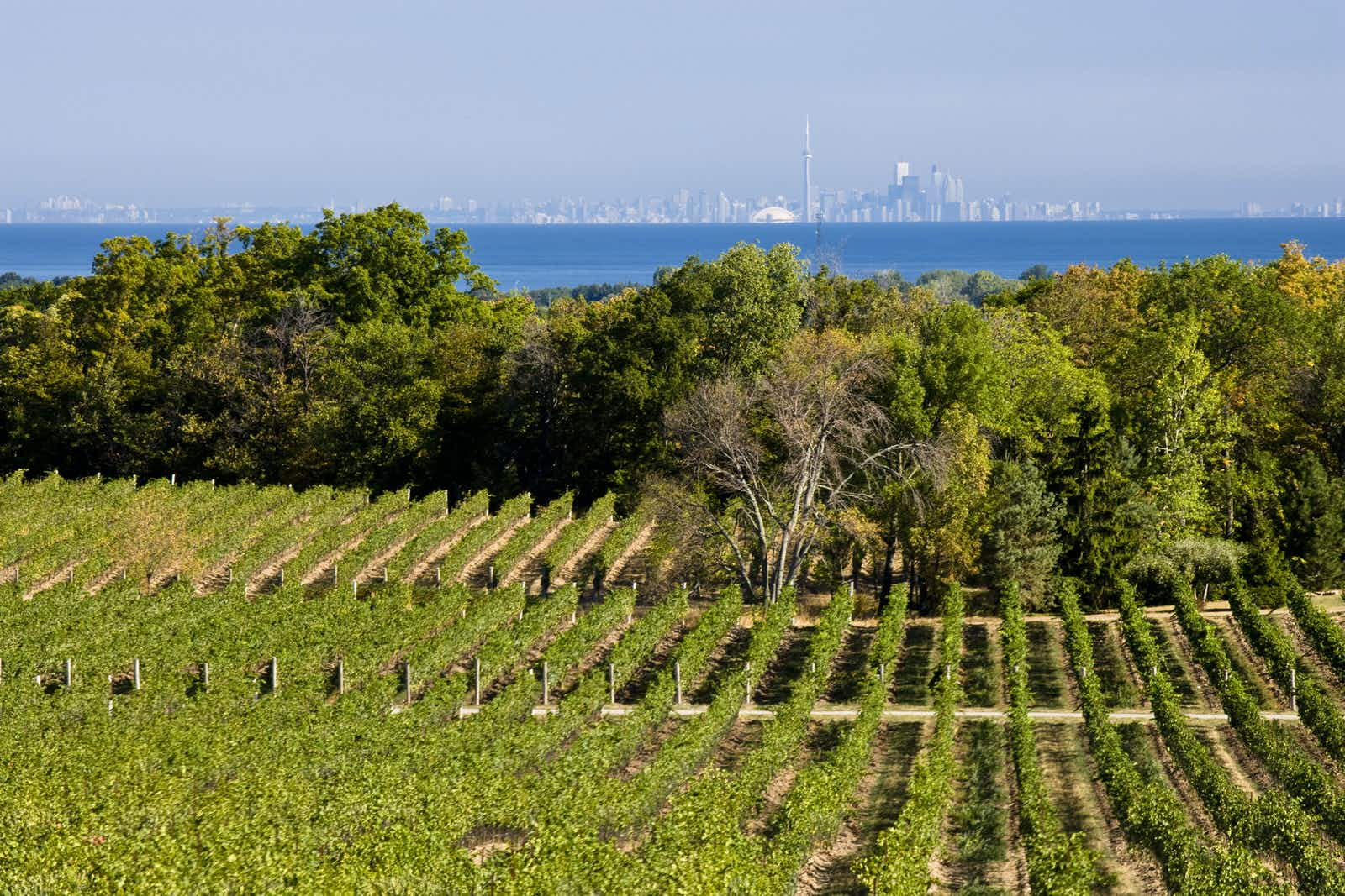 A vinyard with rows of grape vines is in the foreground, with a lake view behind. Far in the distance, on the other side of the lake, is the skyline of Toronto.