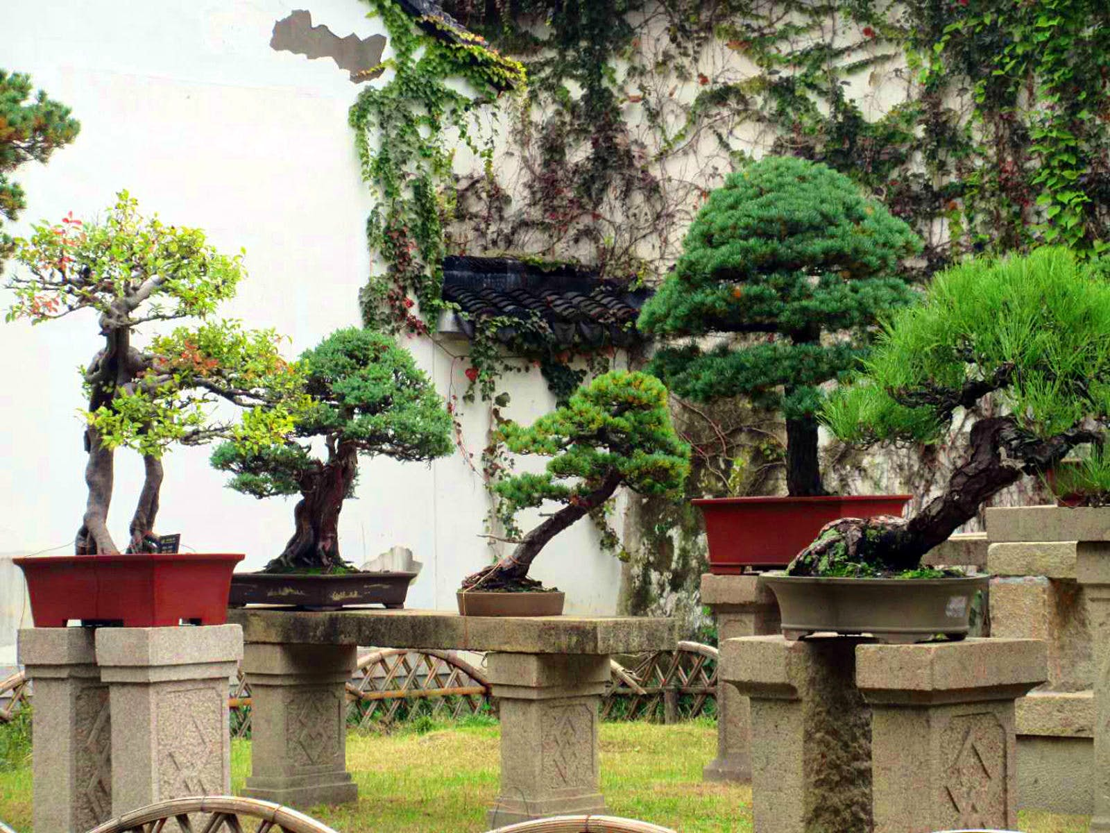 Four miniature evergreen trees on stone platforms in front of a white wall covered in vines. Suzhou's gardens are conceived as microcosms of the natural world, featuring miniature versions of things like trees © Tess Humphrys / Lonely Planet