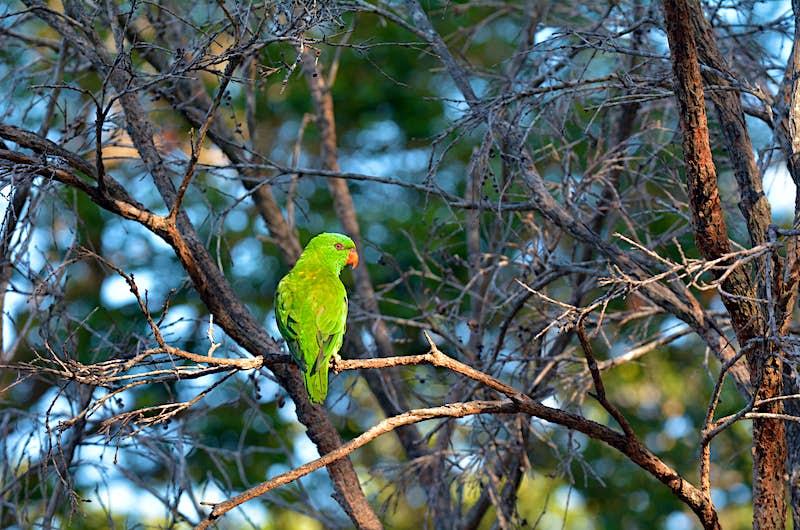 Features - Eclectus parrot