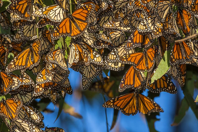 Monarch butterflies cluster together on a tree branch @ Danita Delimont / Getty Images