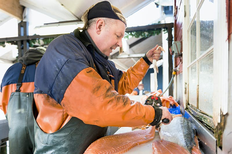 Features - Side view of mature fisherman filleting salmon in fishing industry