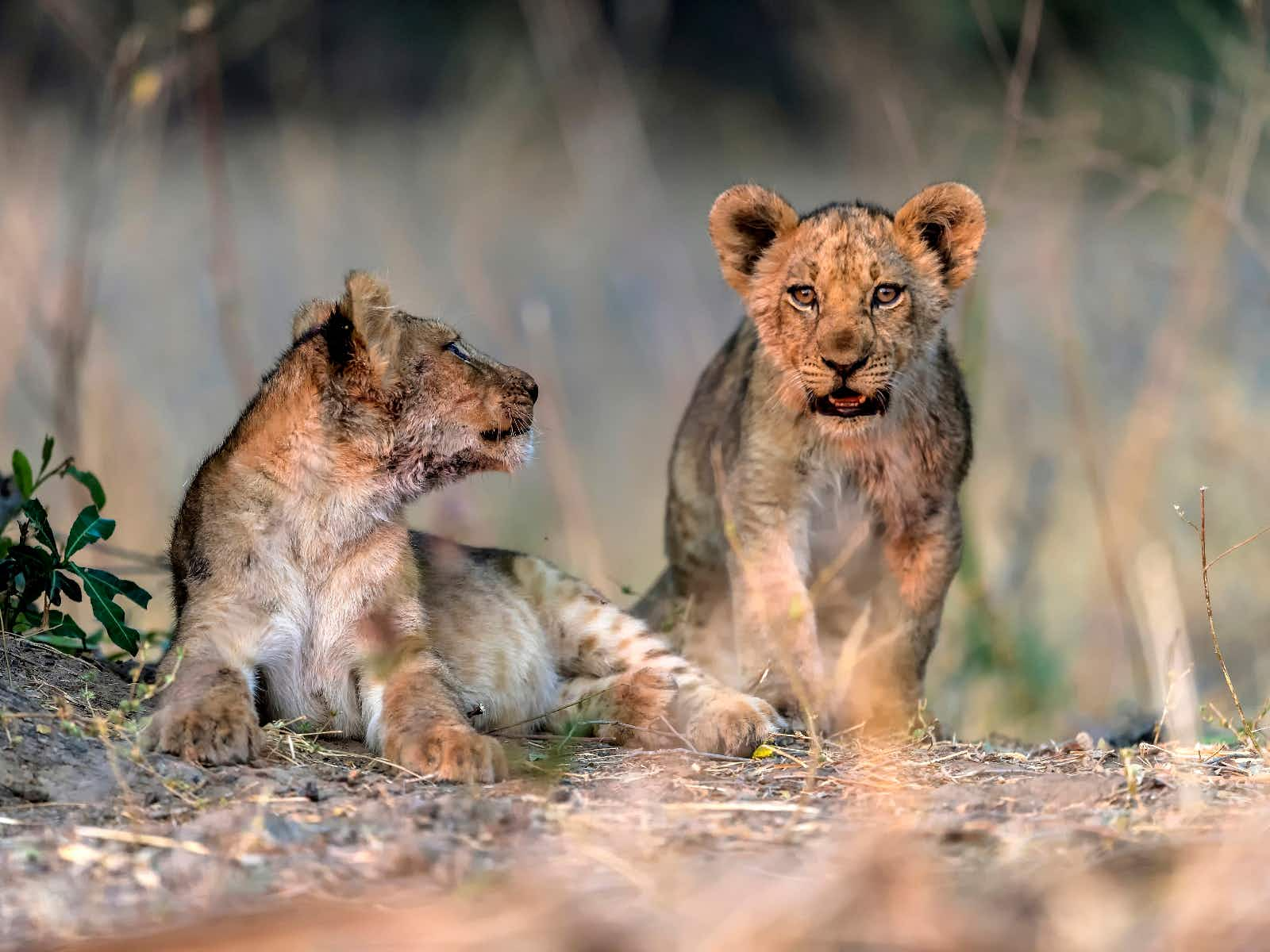 Simba and co. can be seen stalking the savannah at the start of the dry season © Giuseppe_D'Amico / Shutterstock