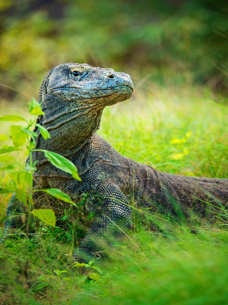A Komodo dragon blends in with the surroundings in Komodo National Park © Guenter Guni / Getty Images