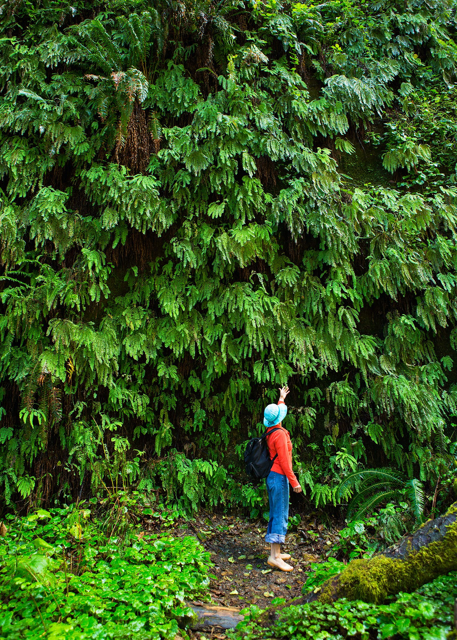 A hiker in Fern Canyon reaches up to touch some evergreens