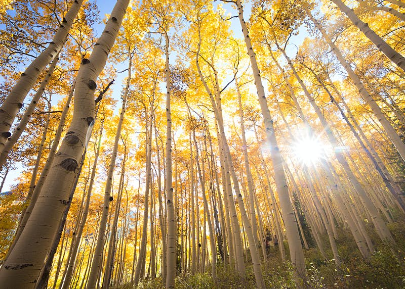 An upwards angle of many thin, tall tree trunks, with yellow leaves above and bright sunlight breaking through