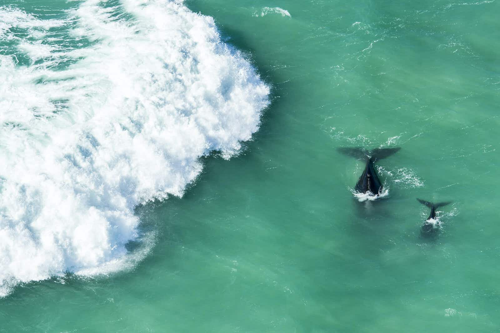 The white wash of crashing waves moves towards a mother and calf southern right whale, their black bodies in stark contrast to the torquoise sea © Peter Chadwick / Getty Images