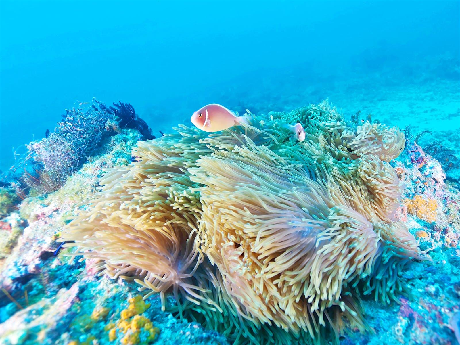 Pink skunk clownfish swims next to a sea anemone amongst Little Liuchiu's rich marine life © unterwegs / Shutterstock