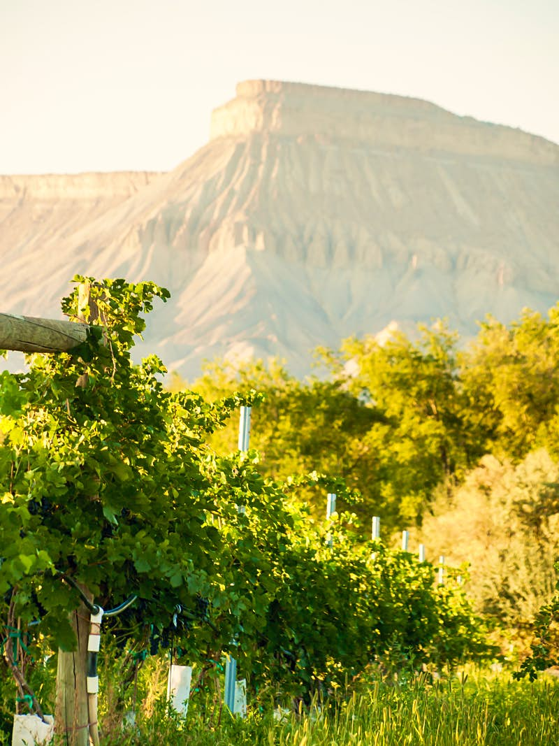 Colorado's high country vines