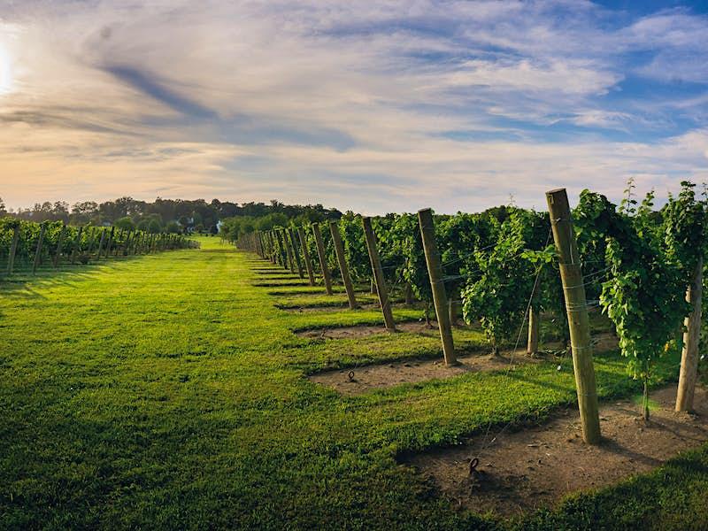 Vines at Beneduce Vineyard