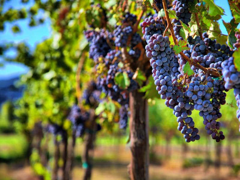 Grapes growing on a vine in Sonoma Wine Country