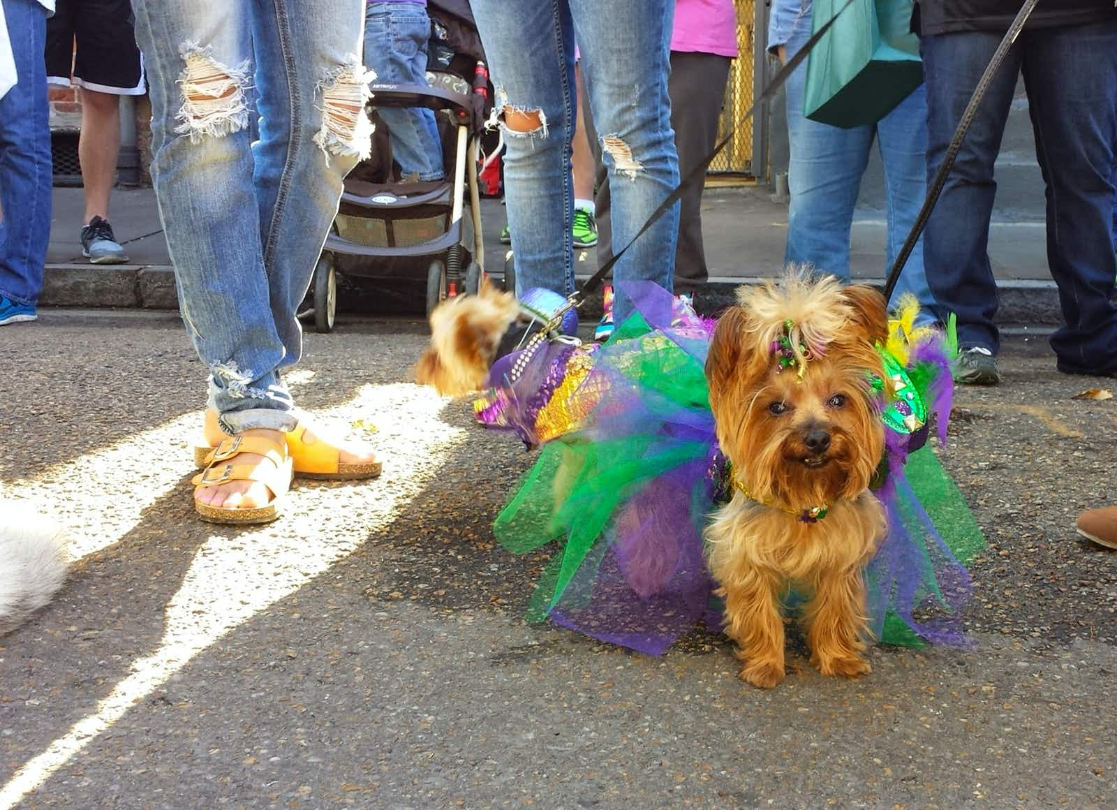 A small terrier dressed in a fairy costume on a leash amid several pairs of jean-clad legs on a street in New Orleans