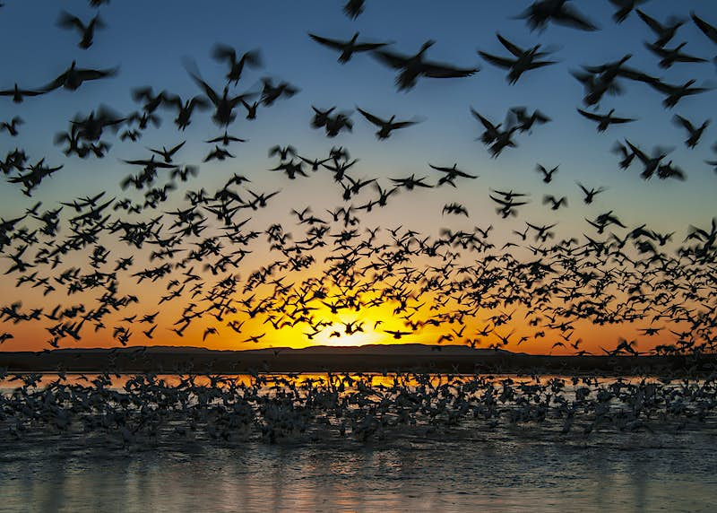 A flock of snow geese take flight in Bosque del Apache National Wildlife Refuge, New Mexico