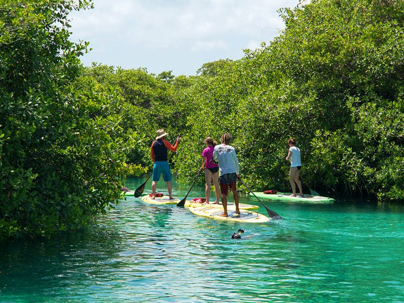 Four people paddle board through mangroves