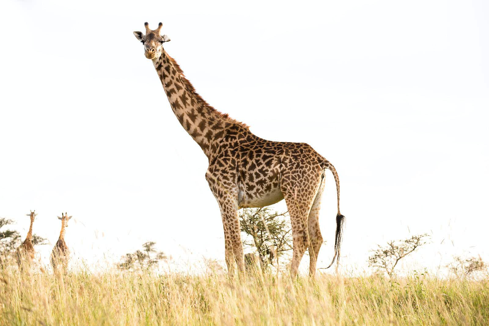 A large standing against a white-sky backdrop, with two distant giraffe walking away. © Maria Swärd / Getty Images