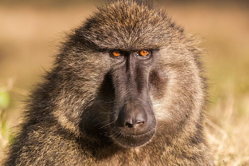 A profile of a baboon with piercing orange eyes.
