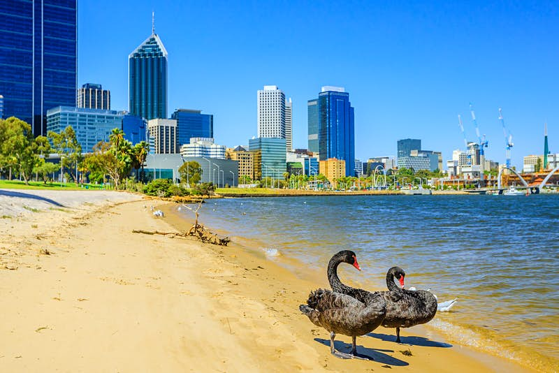 Two black swans stand on the waterfront in Perth. Australia