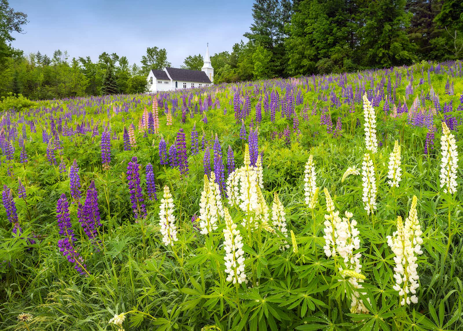 A field of lupines in New Hampshire's White Mountains