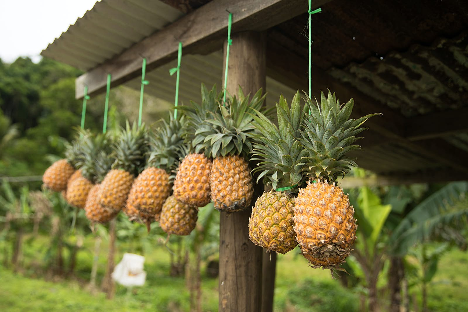 A row of ripe pineapples hanging from strings at a roadside stall in Fiji