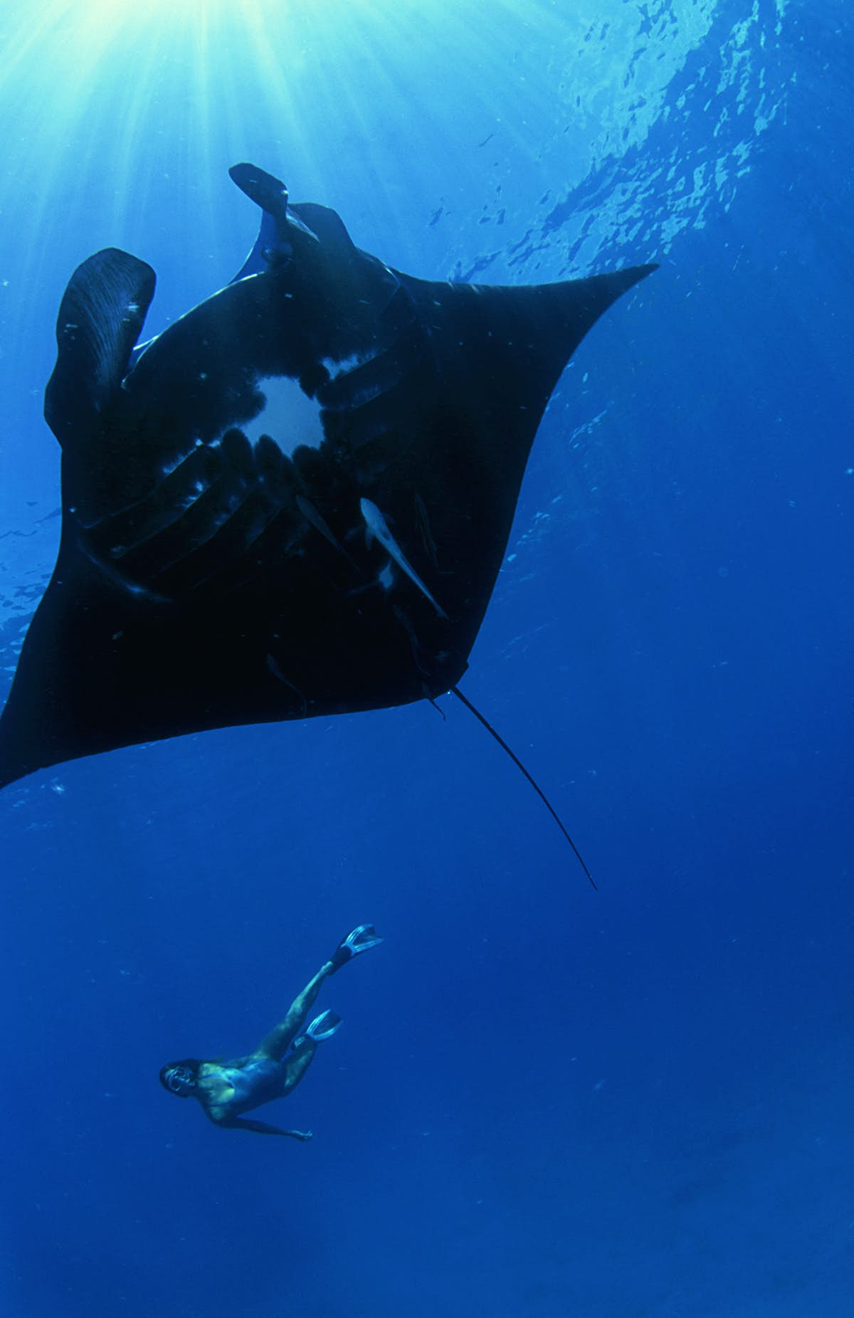 A snorkeler in the distance swims in the deep blue water with a large manta ray in the foreground