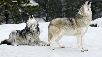At the wolf's door: Yellowstone's winter wildlife