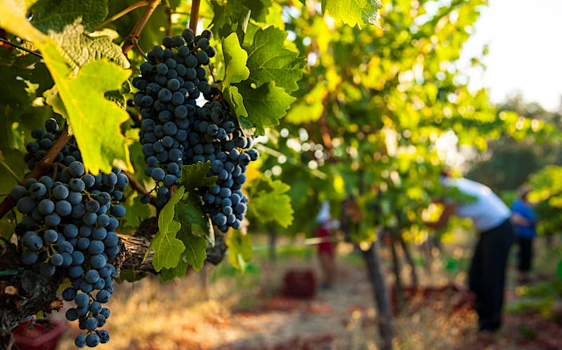 Grapes hanging on the vines at a winery in Urla, on Turkey's Aegean coast