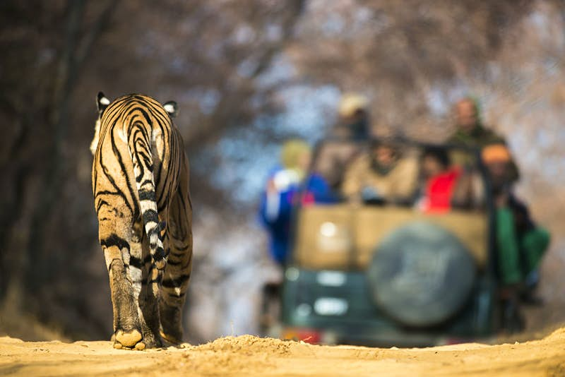 The best places to see tigers in the wild