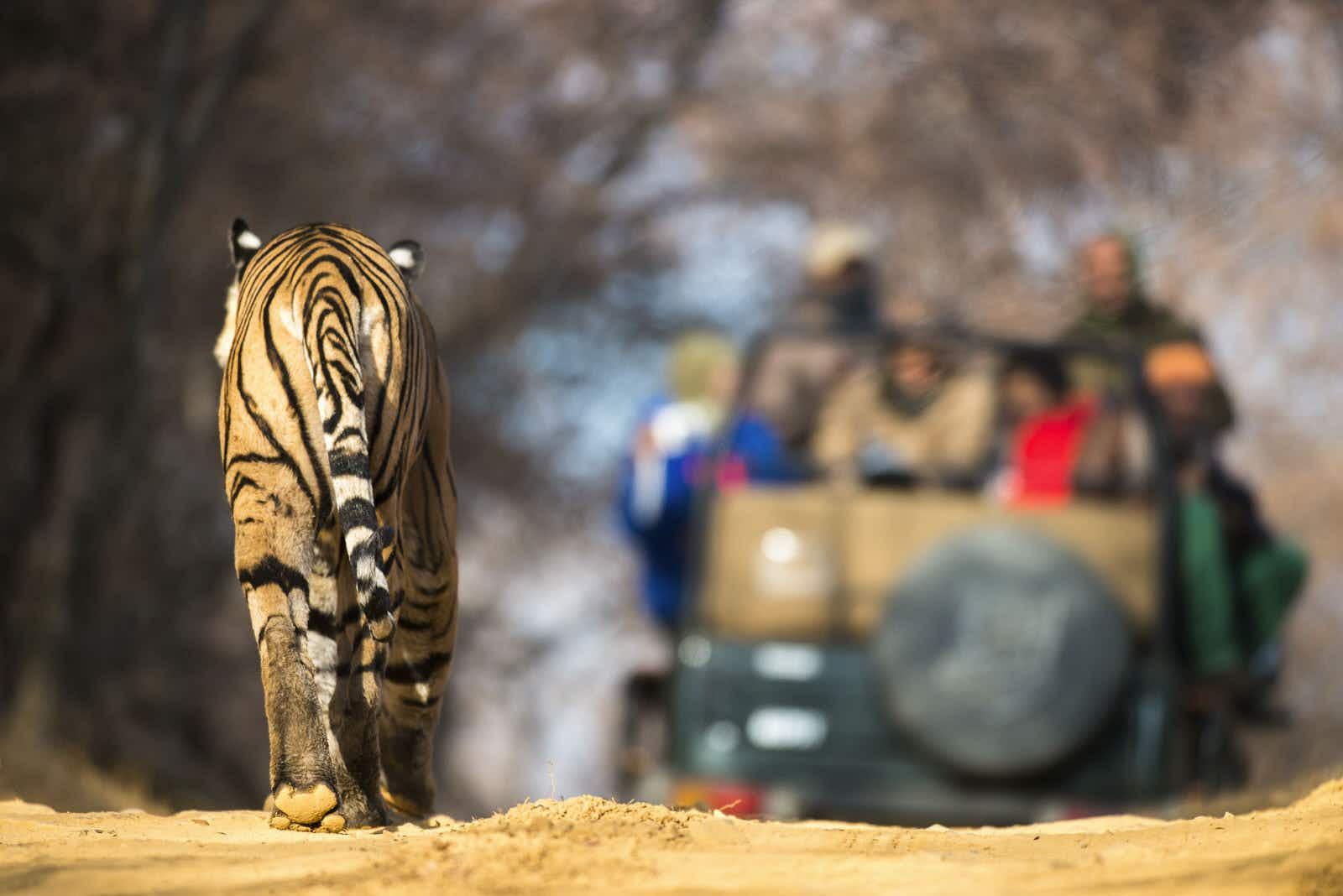 Bengal tiger drinks from a waterhole at Sundarban National Park © Roop_Dey / Shutterstock
