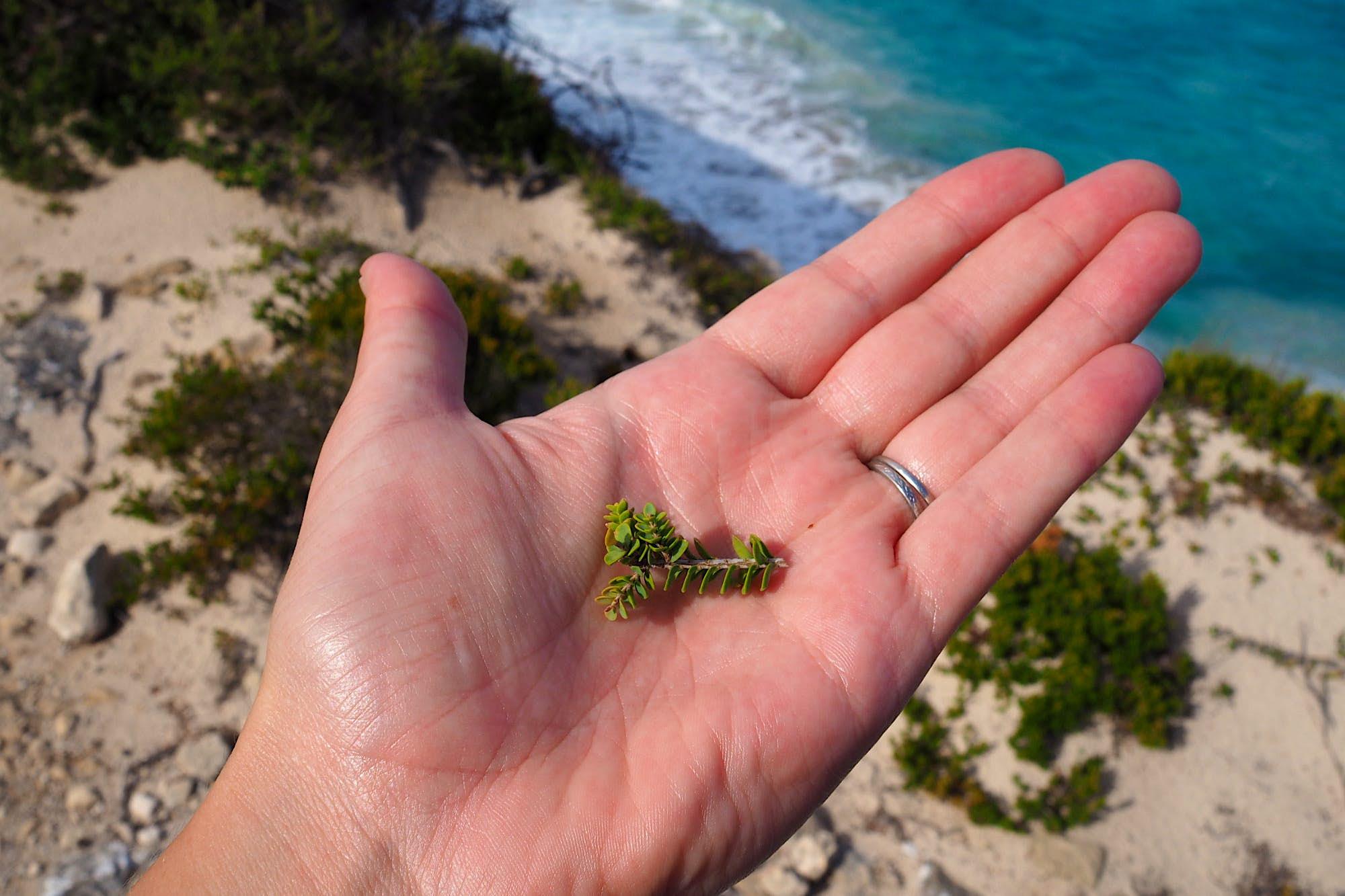 Kangaroo Island food - Hand holding indigenous ingredient on a KI food safari along the coast