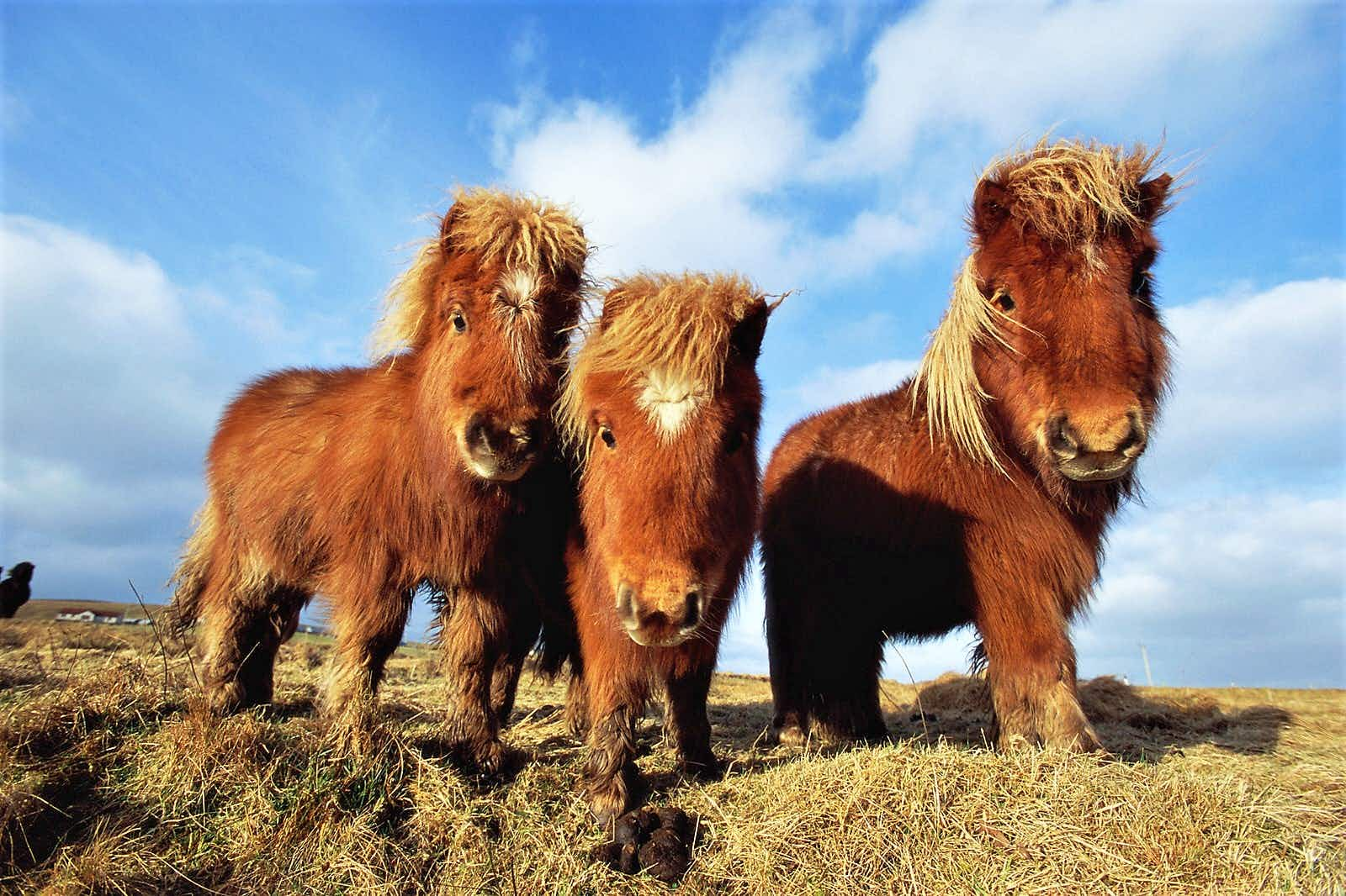 Three Shetland ponies look curiously at the viewer