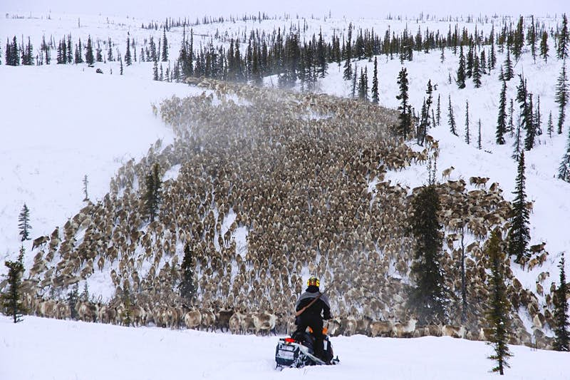 A massive herd of reindeer stretches to the horizon, with a solitary snowmobiler in the foreground watching them in the Northwest Territories.