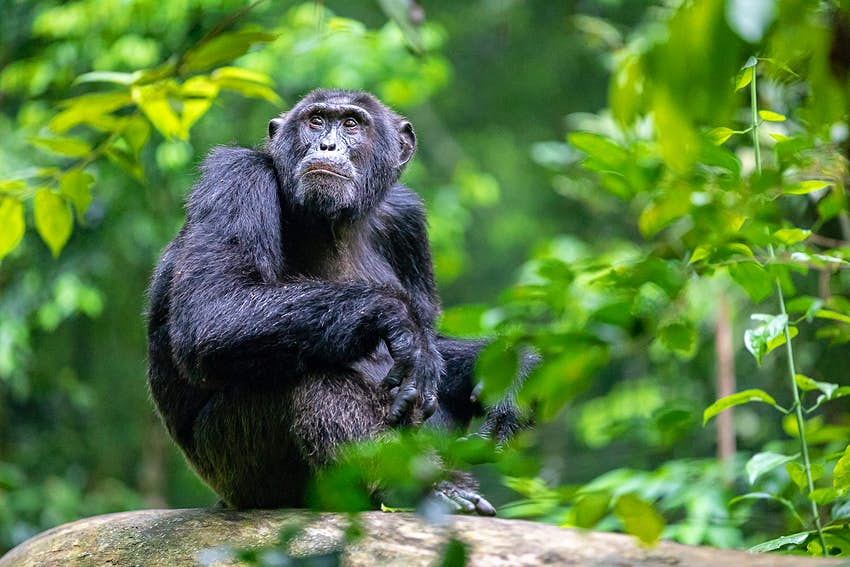 A mature male chimpanzee sits in dense green foliage atop a large branch with its legs tucked up and its forearms hanging over its knees - it is looking pensively up to the trees above© Bella Falk
