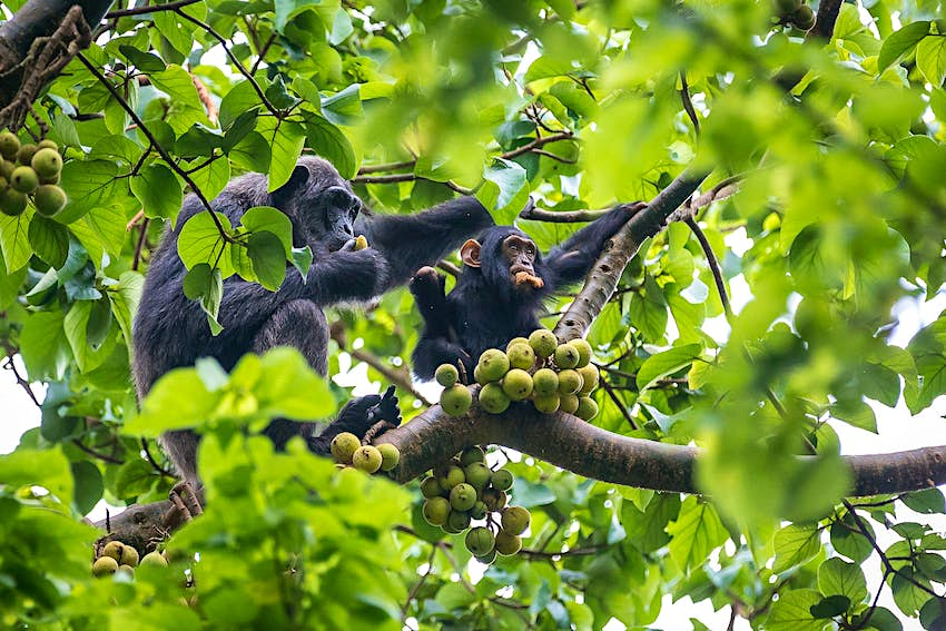 A baby chimpanzee has its mouth full of fruit, with one hand on a branch and the other grasping more fruit, while an elder chimp sits down the same branch and carefully tastes a piece of fruit - bunches of fruit hang from the branch they are sitting on © Bella Falk