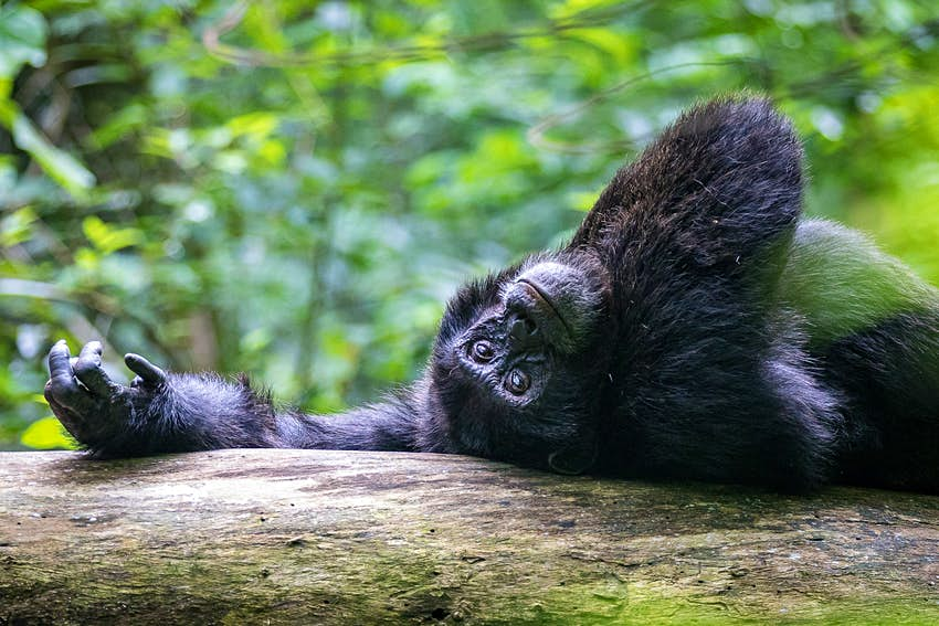 An adult chimpazee laying on its back atop a large branch, with one arm outstretch - its palm left open and skyward - above its head, the other folded gently across its chest; its head is upside down and it is gazing gently at the camera © Bella Falk