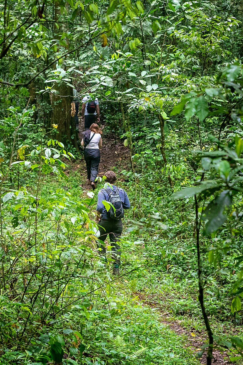 Several tourists walk single file up a slope into the thickening undergrowth of the rainforest while tracking chimpanzees© Bella Falk