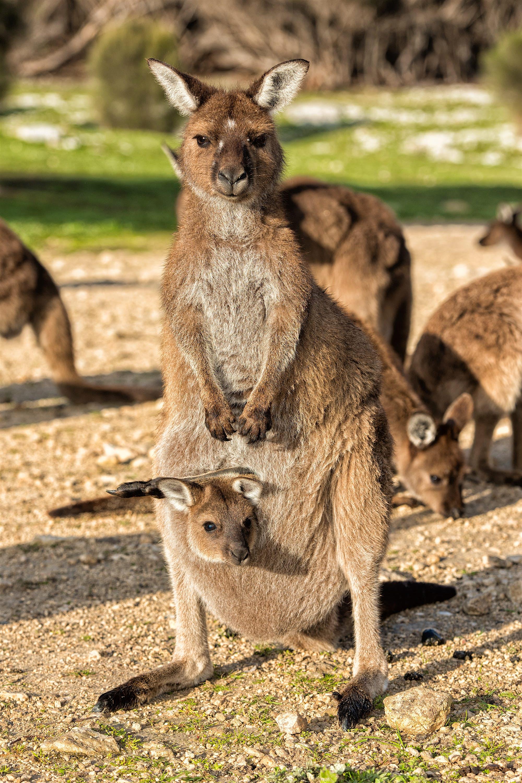 Kangaroo Island food - On their own KI food safari, a kangaroo and its baby joey