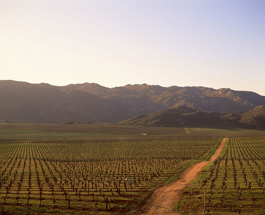 A dirt road stretches towards low mountains lined on either side by rows of grape vines below a dusky blue sky