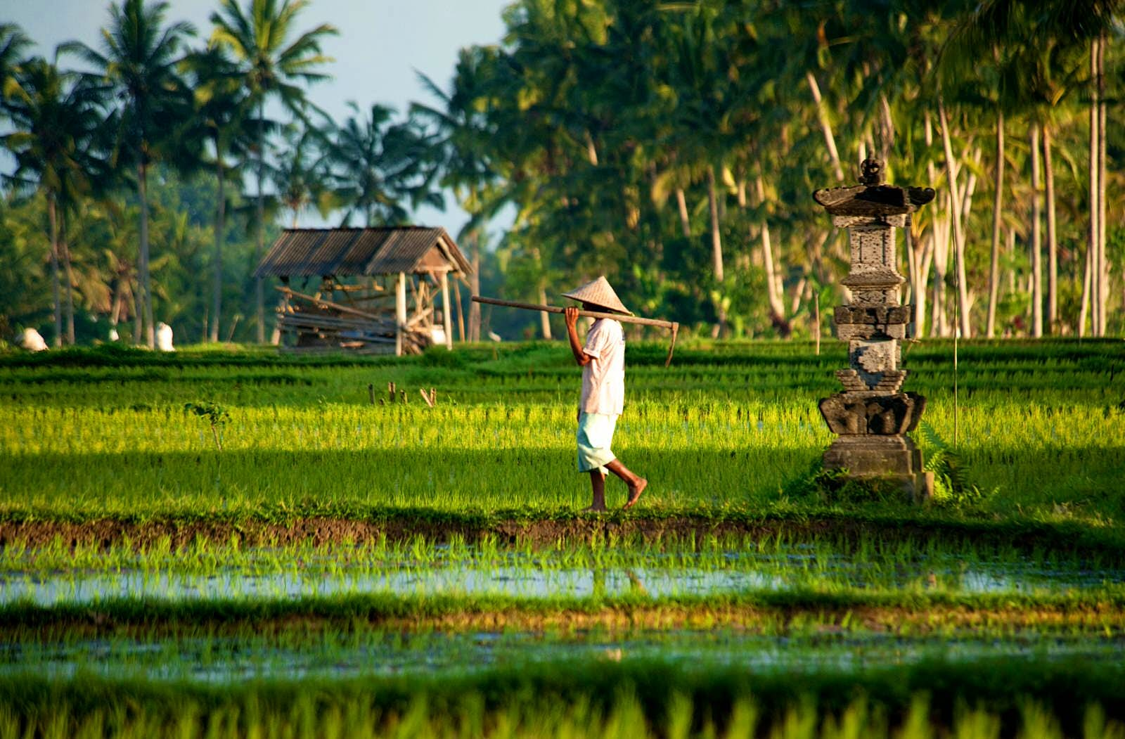 Man working in flooded green rice field. He is wearing a traditional hat and carrying a scythe,
