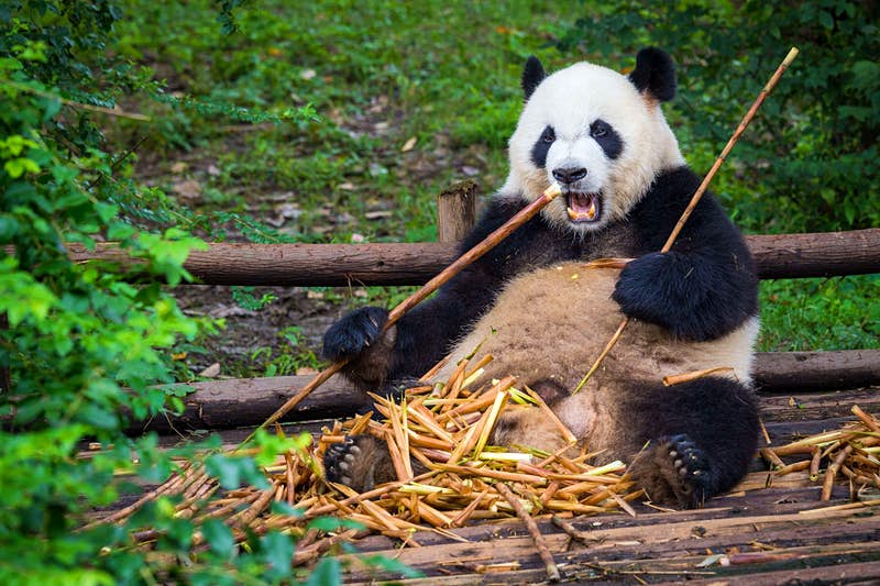 A giant panda sits eating long sticks of bamboo on a wooden deck surrounded by greenery