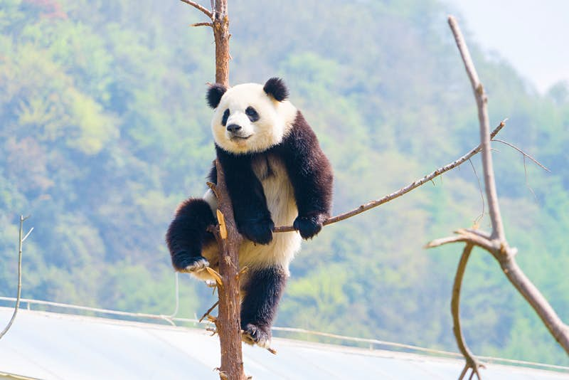 A panda climbs up on a bare tree that has had most of its branches broken off. There are green trees visible in the background, out of focus.